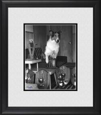 "Lassie Framed 8"" x 10"" Showing Off Trophies Photograph"